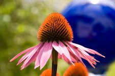 Free Purple Echinacea Royalty Free Stock Image - 17157866