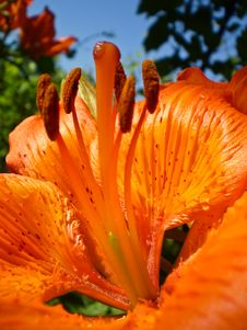 Free Orange Lily Pistil Stock Photo - 17160660