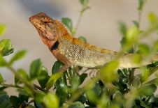 Free Oriental Garden Lizard, Calotes Versicolor Royalty Free Stock Photos - 17160728