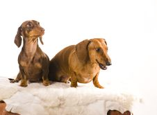 Free Two Adorable Dachshund Isolated Royalty Free Stock Photos - 17160958