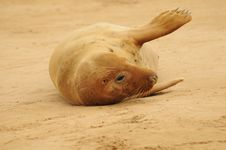 Free Grey Seal Female Stock Photos - 17161123