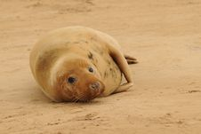 Free Grey Seal Female Stock Images - 17161164