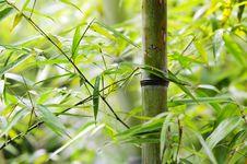 Free Green Bamboo Groves Stock Photos - 17161403