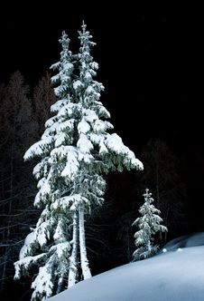 Spruces In The Snow Stock Photo
