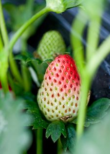 Free Strawberries Royalty Free Stock Images - 17161989