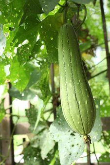 Green Gourd Stock Image