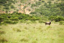 Free Antelope Kudu Royalty Free Stock Image - 17163826