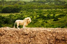 White Lions In Savanna Royalty Free Stock Photo