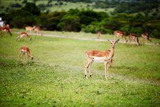 Free Antelope Impala Stock Images - 17163854