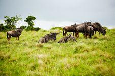 Free Antelope Gnu Stock Images - 17163864