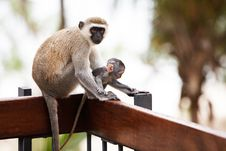 Free Monkeys In Africa Stock Photo - 17163910