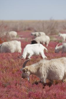 Goat On The Prairie Stock Image