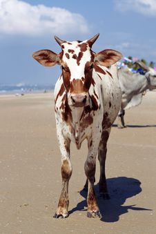 Free Cow In The Beach Royalty Free Stock Photography - 17164477