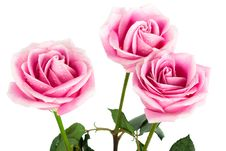 Free Three Roses Stock Photography - 17165542