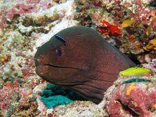 Free Giant Moray Eel Royalty Free Stock Image - 17169006