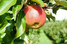Red Fresh Apple Royalty Free Stock Images