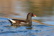 Free Moorhen Swimming Stock Photo - 17169580