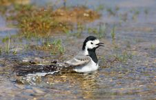 Free White Wagtail Bathing Stock Photo - 17169660
