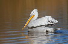 Free Dalmatian Pelican Stock Photo - 17169710