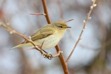 Free Chiffchaff Stock Images - 17169744