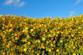 Free Sunflowers In The Field Stock Photography - 17170672