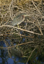 Free Green Heron (Butorides Virescens) Hunting Stock Photos - 17174993