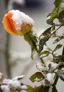 Free Orange Rose Stock Photo - 17175360