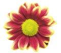 Free Marguerite Royalty Free Stock Image - 17178816