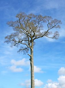 Free Big Tree, Blue Sky Royalty Free Stock Image - 17170156