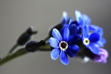 Free Forget-me-not Blossom Closeup Stock Photography - 17172722