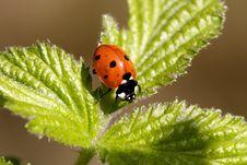 Free Ladybug Stock Photo - 17173390