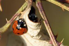 Free Ladybug Stock Photos - 17173413