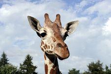 Free Giraffe Royalty Free Stock Image - 17173436