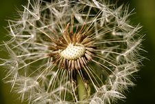 Free Dandelion Royalty Free Stock Photography - 17173477