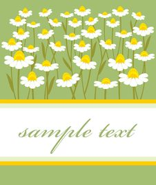 Free Chamomile Royalty Free Stock Photography - 17173697