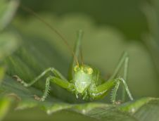 Free Grasshopper Royalty Free Stock Image - 17174076