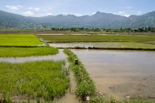 Free Flooded Rice Paddy Royalty Free Stock Photos - 17174168