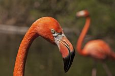 Free Head Of A Pink Flamingo Stock Photo - 17174200