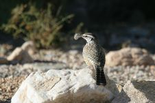 Free Cactus Wren With Feather Royalty Free Stock Photos - 17174378
