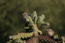 Free Curve-billed Thrasher And Cactus Wren Royalty Free Stock Images - 17174639