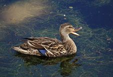 Free Female Mallard Quacking Stock Photo - 17174760