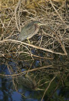 Free Green Heron (Butorides Virescens) Hunting Stock Photos - 17174993
