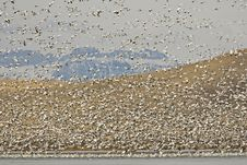 Free Migrating Snow Geese (Chen Caerulescens) Stock Images - 17175094
