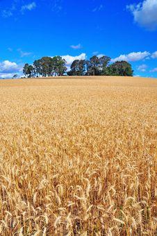 Free Ripe Wheat Field Royalty Free Stock Photo - 17175175