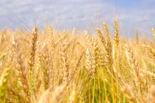 Free Ripe Wheat Ears Stock Photos - 17175263