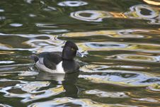 Ring-necked Duck At Sunset Royalty Free Stock Photo