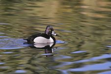Ring-necked Duck Royalty Free Stock Photos