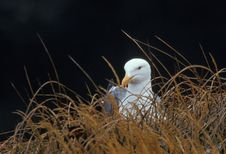 Free Western Gull (Larus Occidentalis) Takes A Break Stock Images - 17175444