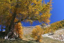 Free Yellow Tree In Alps Stock Photography - 17175932