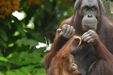Free Orangutan, Mother And Child Stock Photo - 17177590